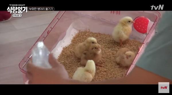 节目中的小鸡