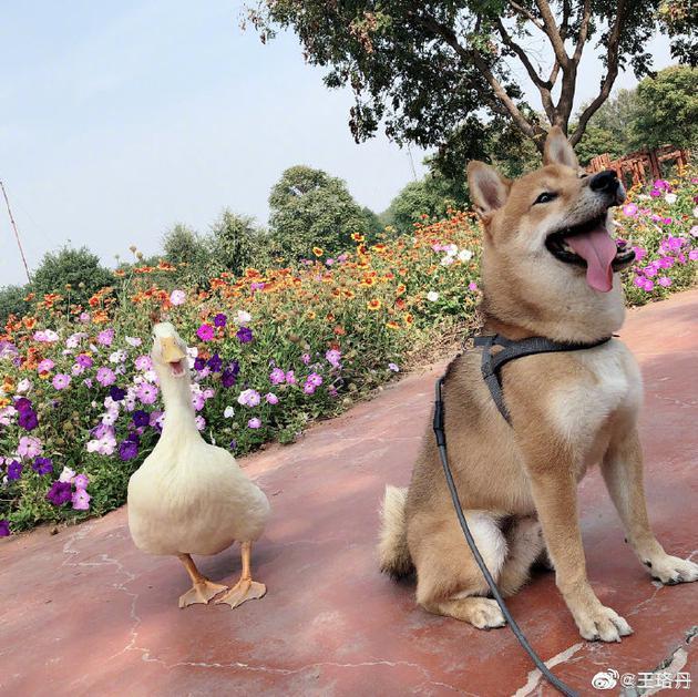 王珞丹帮同事发寻鸭启事 人已找到但鸭子却不在了|王珞丹|寻鸭启事|同事_新浪娱乐_全信网